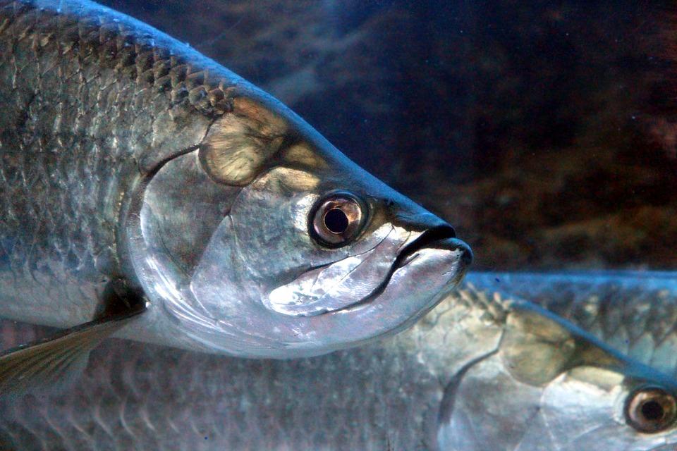 tarpon fish closeup